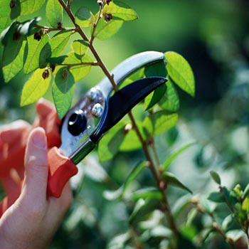 Pruning by small clippers.
